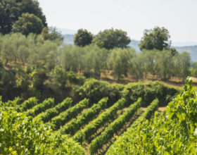 Excursion Vines and Olive Trees in the Region of Montpellier